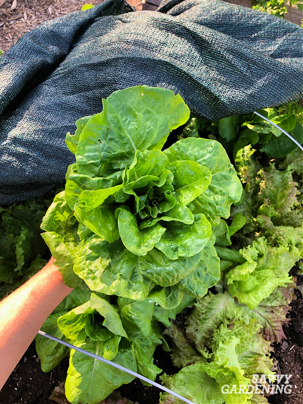 Lettuce harvested from beneath shade cloth