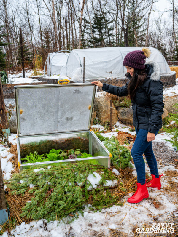 Harvesting from a winter cold frame