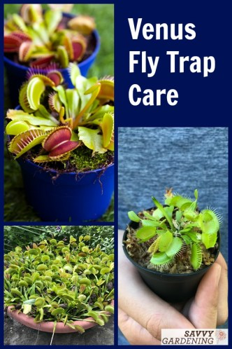 Caring for Venus fly traps both indoors and out