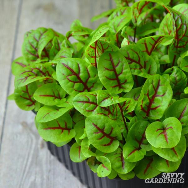 red veined sorrel microgreens