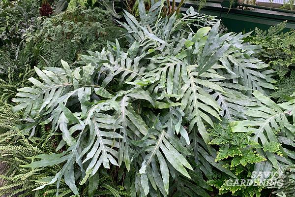 Phlebodium aureum - A beautiful houseplant