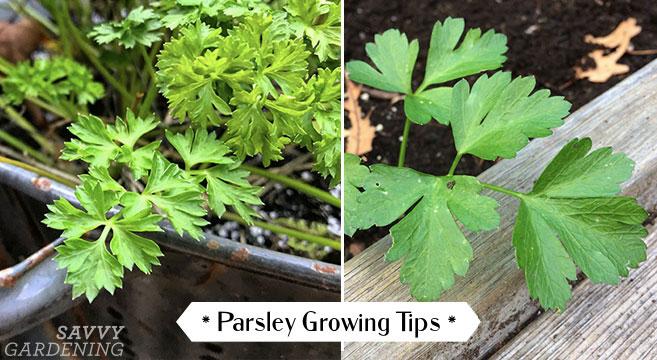 parsley growing tips