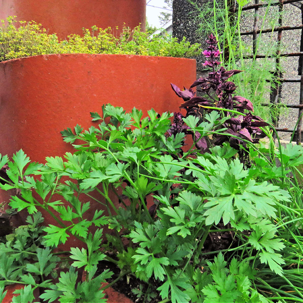 flat-leaf parsley in a container