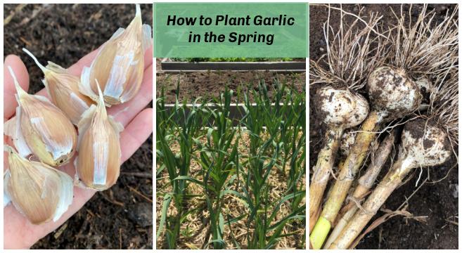Planting garlic in the spring