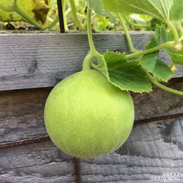Carosello melon in a garden