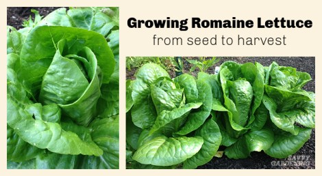 Types of Romaine Lettuce