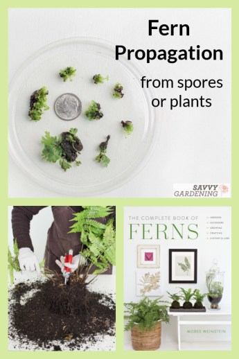 Fern propagation from spore or division is fun and easy, but you do need to know how to complete the task.