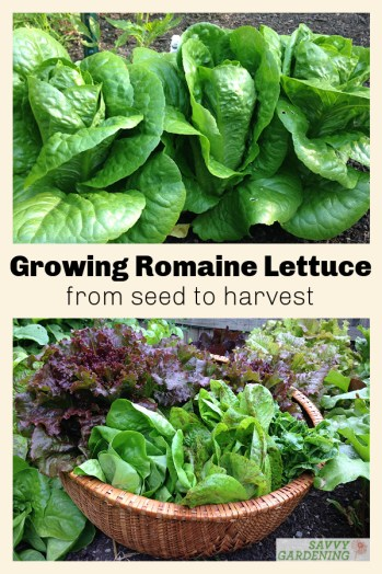 Romaine lettuce is surprisingly easy to grow. Use these tips for planting, sowing, and growing for a hearty harvest of this salad green.