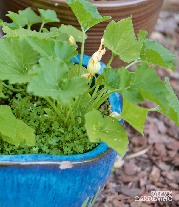 Small clover grows with zucchini plants in a pot