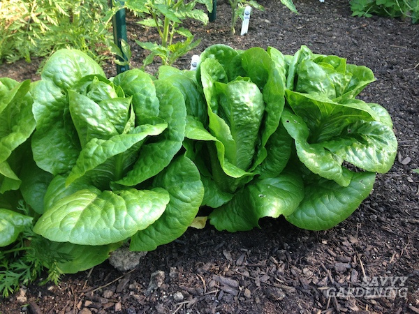 Romaine is among the easiest lettuces to grow in a home garden. Here's how.