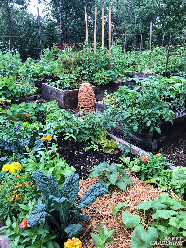 kale in vegetable garden