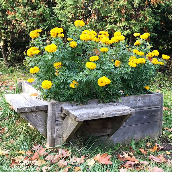 A raised bed with benches, allows gardeners to reach into the bed to weed and plant