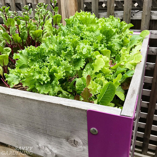 lettuce planted densely in a raised bed
