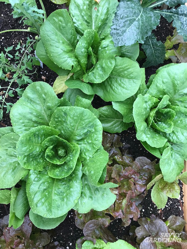 Planting, growing, and harvesting romaine lettuce
