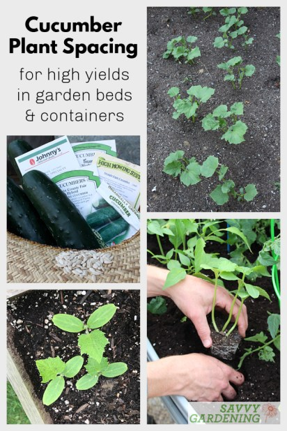 The best cucumber plant spacing for high yields and healthy plants