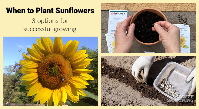 Planting sunflowers in the garden