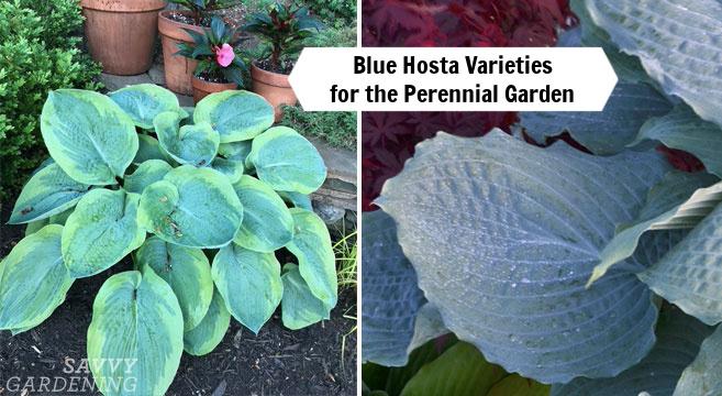 blue hosta varieties for the perennial garden