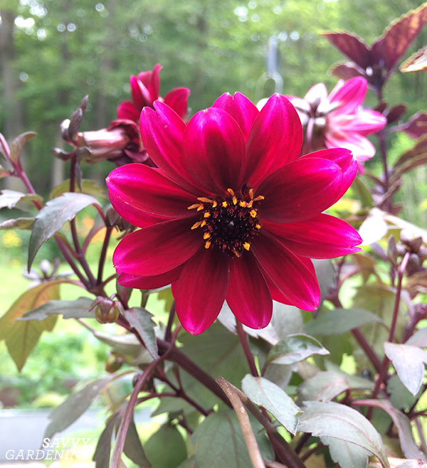Growing dahlias in pots is perfect for small-space gardeners