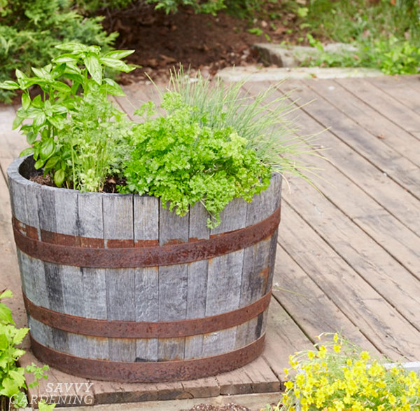 a whisky barrel used as a raised bed to grow herbs