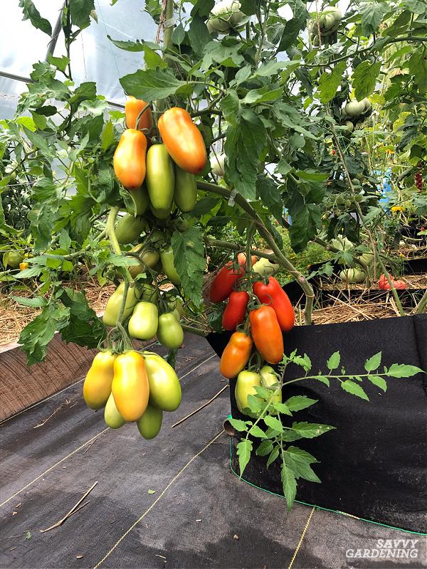 tomato plant in a fabric planter