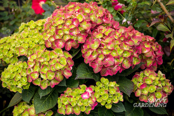 5 unusual hydrangeas for planting beds and containers