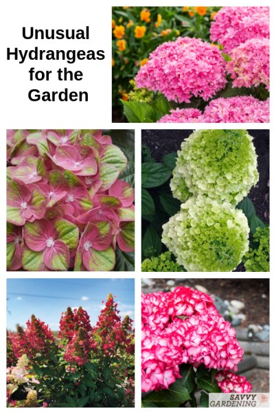 Introduce some of these unusual hydrangea varieties to your garden for added color and interest.