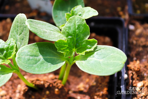 Watermelon seedlings for container gardening