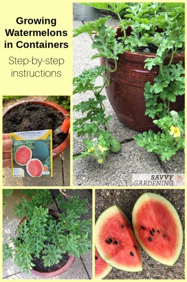 Planting watermelons in pots
