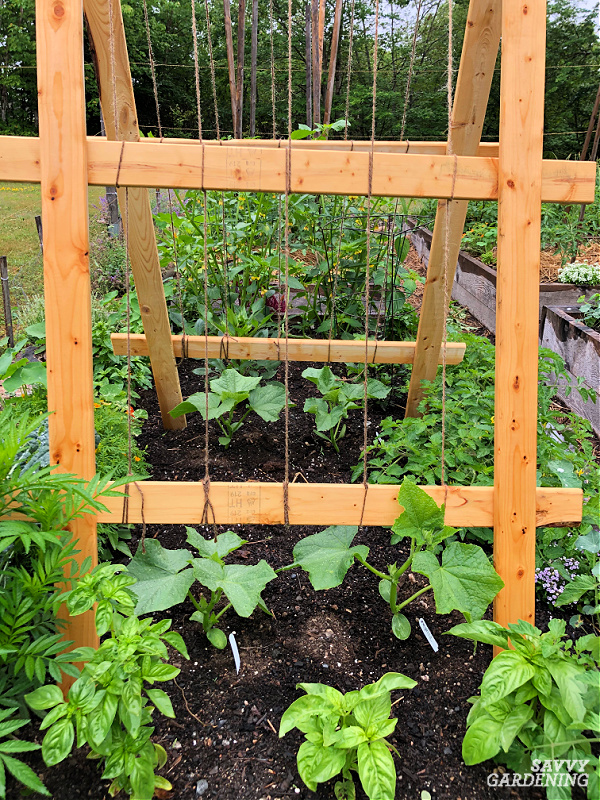 Cucumbers on a trellis in a raised bed garden