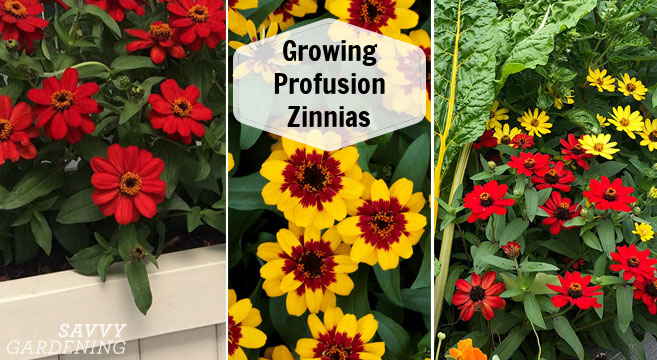 growing zinnia profusion