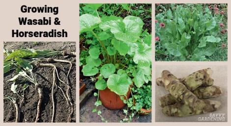 How to grow wasabi and horseradish