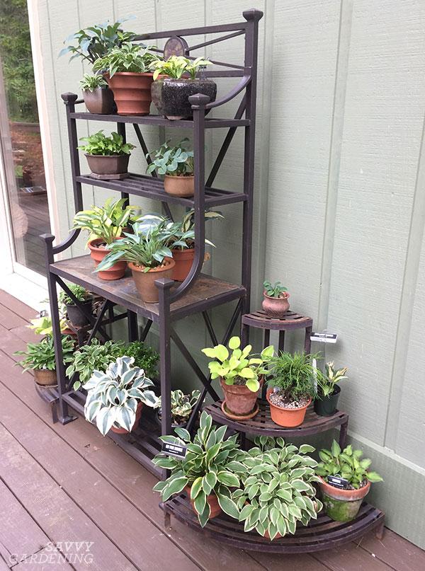 small hostas in pots on a shelf