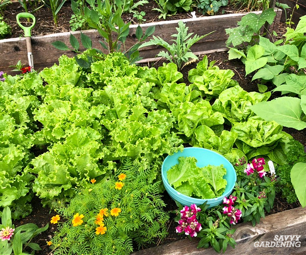 lettuce is one of the best vegetables to grow in raised beds