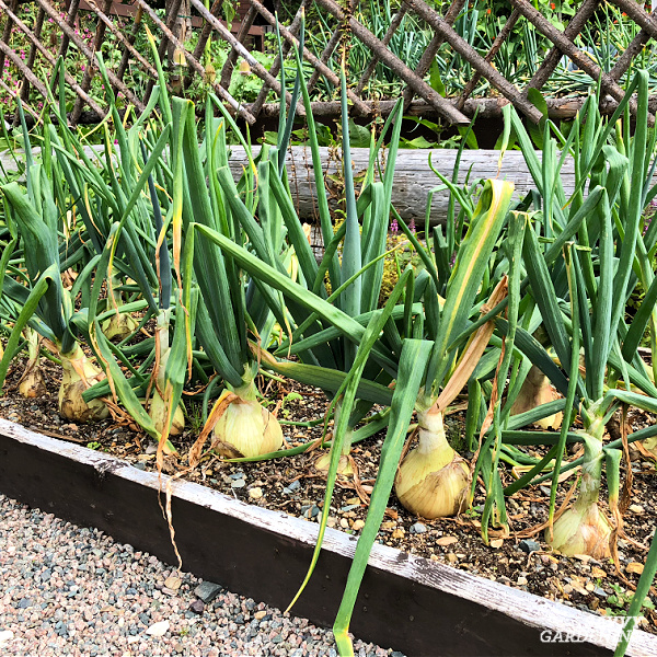 onions in a raised bed garden