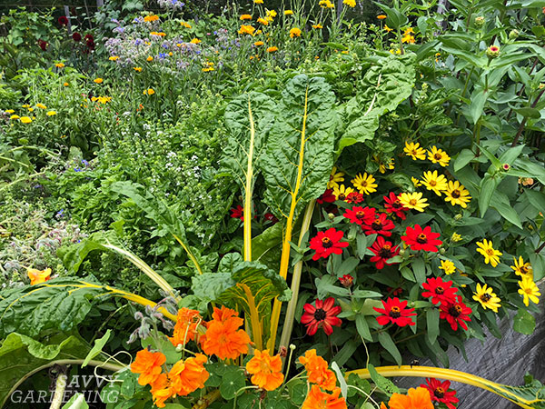 Profusion zinnias in a raised bed