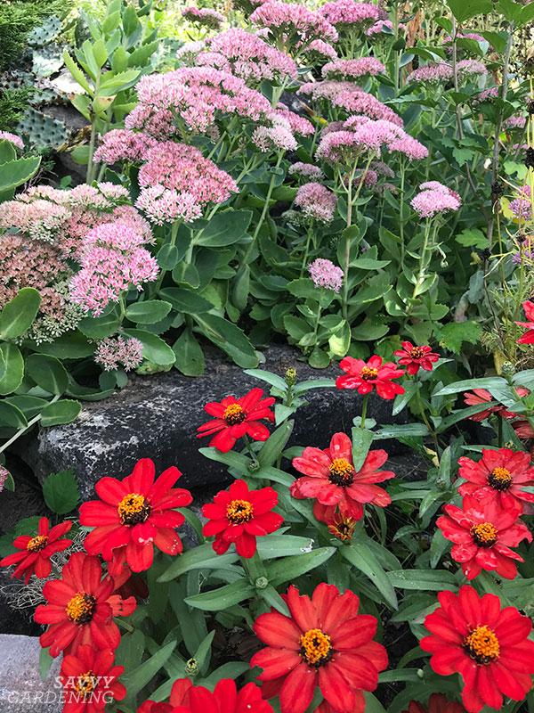 Profusion Red zinnias and sedum in a garden