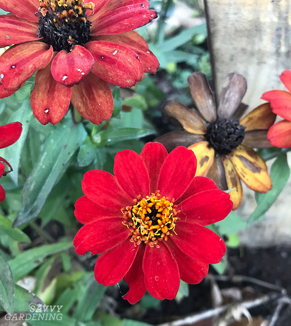 Red Profusion zinnias in the fall