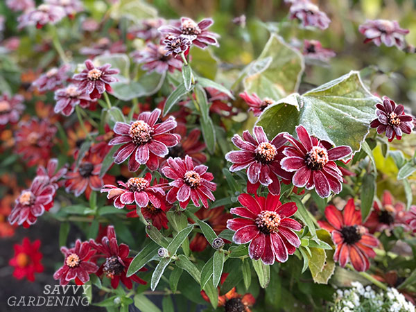 Profusion zinnias touched by frost