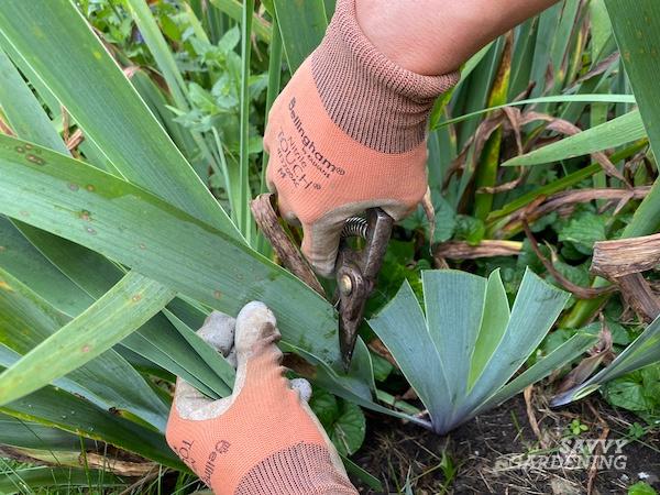 How to prune iris plants
