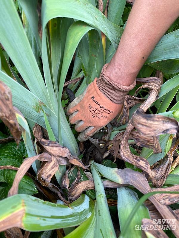 Tips for deadheading iris plants