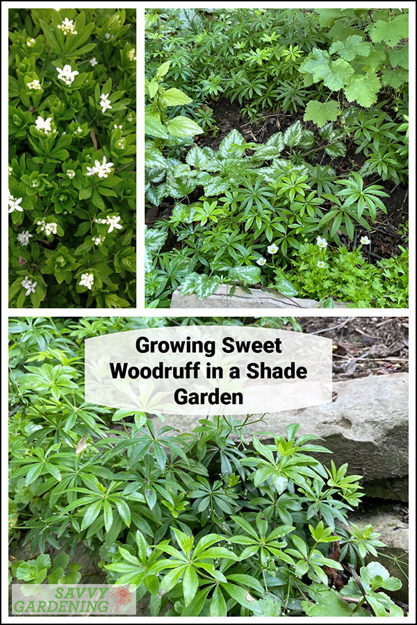 Sweet woodruff: An enchanting ground cover choice for shade gardens