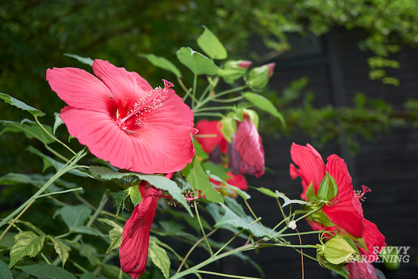 How to grow dinner plate hibiscus