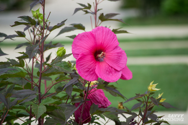 How to cultivate perennial hibiscus