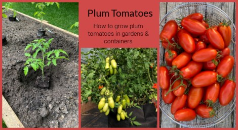 growing plum tomatoes