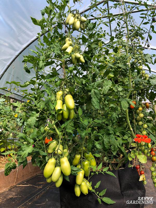 plum tomato plant in container