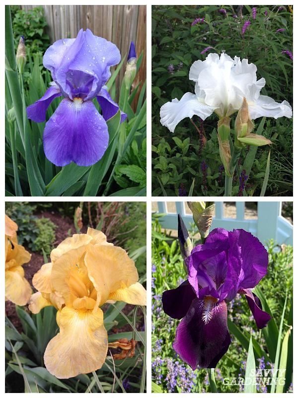 Caring for irises through the season