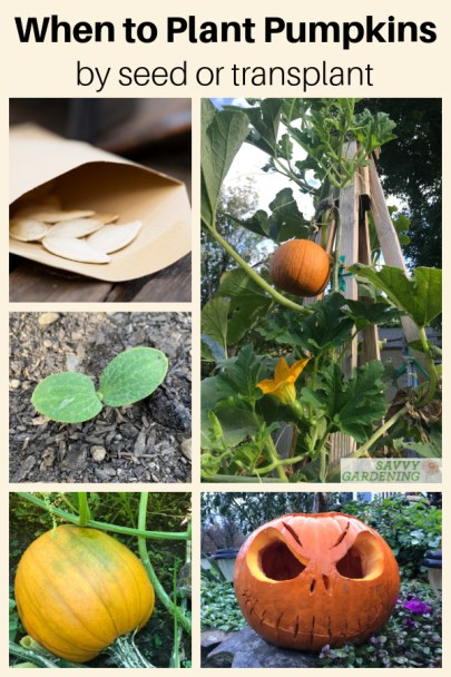 When to plant pumpkins for a great fall harvest