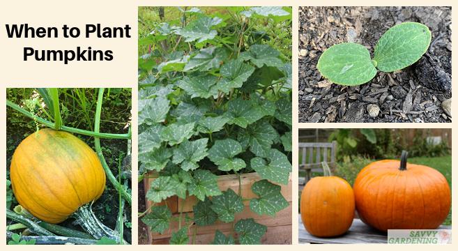 When to plant pumpkin seeds in the garden