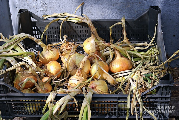Tips for curing onions for long-term storage