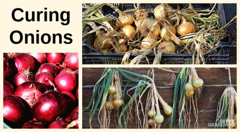 Tips for curing onions and proper storage